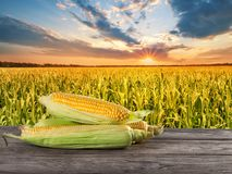 A handful of ripe yellow corn on wooden board against cornfield Royalty Free Stock Photos