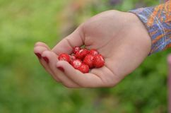 A handful of small wild strawberries. stock photo