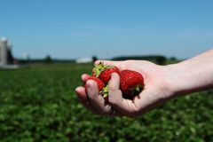 Handful of Strawberries Stock Photos
