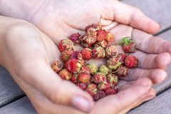 Handful of strawberries field closeup. Selective focus stock photo