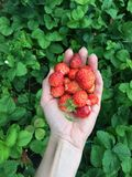 A handful of strawberries Royalty Free Stock Photography