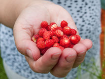 Handful of strawberries Stock Photography