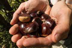 Handful of sweet chestnuts Royalty Free Stock Photography