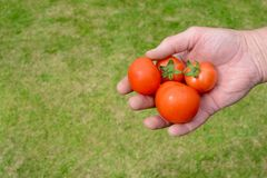A handful of tomatoes Stock Images