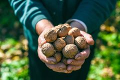 A handful of walnuts in the hands of an old woman, concept, Ukraine Stock Image