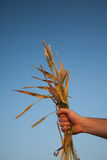 Handful of Wheat Against Blue Sky. Male hand holds wheat plants against blue sky at sunset Stock Photos
