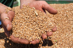 Handful of Wheat. Farmer's hands holding freshly harvested wheat grains Stock Photos