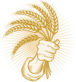 Handful of Wheat Royalty Free Stock Photography