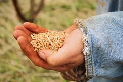 A handful of wheat kernals being held in a young male hand stock photo
