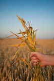 Handful of Wheat Plants. Male hand holds wheat plants against wheat field and blue sky Stock Photos