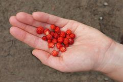 A handful of wild strawberries Stock Images