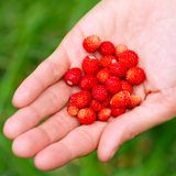A handful of wild strawberries Stock Image