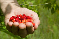 A handful of wild strawberries. Collected in a field Royalty Free Stock Photography