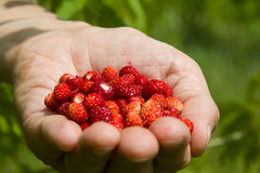 A handful of wild strawberries. Collected in a field Royalty Free Stock Images