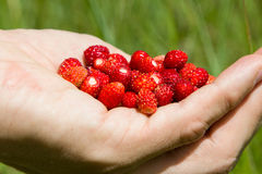 A handful of wild strawberries. Collected in a field Royalty Free Stock Photos