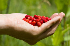A handful of wild strawberries. Collected in a field Stock Photo