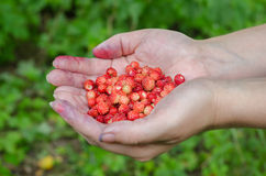 Handful of wild strawberries Stock Images