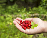 A handful of wild strawberries in the the palm, in the forest on a background of greenery Royalty Free Stock Images