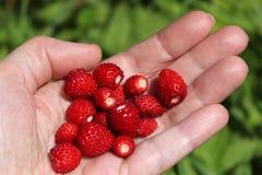 A handful of wild strawberries. Sweet summer berries. Stock Photo