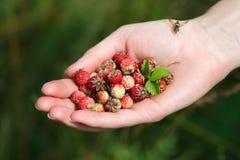 Handful of wildberries Stock Image