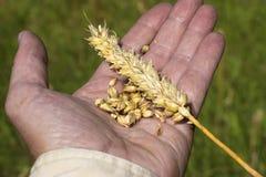 Handfull da grão do trigo Fotografia de Stock