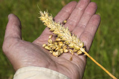 Handfull del grano del trigo Fotografía de archivo