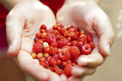 A handfull of wild berries. Girl holding freshly picked wild forest berries Stock Photos