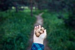 Handfullvalnötter i skogen Arkivbilder