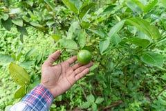 Handgärtner fangen Lindgrün auf einem Baum stockfotos