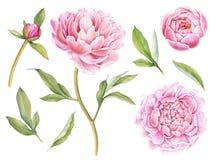 Handgemalte Florenelementsammlung Botanische Illustration des Aquarells der Pfingstrose, der Knospen und der Blätter Stockfotos