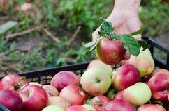 Handgepackte geerntete Äpfel der Frau zu den ches lizenzfreies stockbild