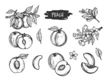 Handgezogener Pfirsich- und -aprikosensatz stockfotos