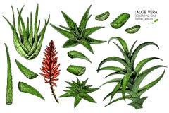 Handgezogener Satz Aloe Vera Gravierte farbige Vektorillustration Medizinische, kosmetische Anlage Befeuchtendes Serum vektor abbildung
