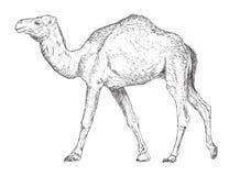 Handgezogenes Weinlese-Kamel - Vektor lizenzfreie abbildung