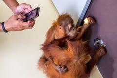 Handgriff auf Telefonnehmenorang-utan Babyfoto Lizenzfreies Stockbild