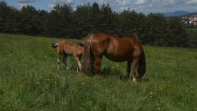Handheld Camera Shot of a Foal and a Mare. Grazing on a mountain spring field with wildflowers stock video footage