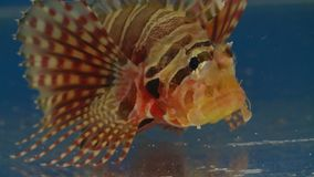 Front view of lionfish. Handheld, close up shot of the face of a lionfish Pterois miles stock footage