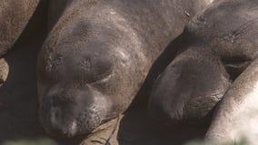 Two sleeping elephant seals