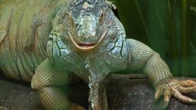 Iguana Staring At Camera