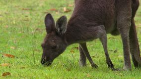 Kangaroo Rummaging Through Grass. Handheld, close up shot of a kangaroo rummaging through the grass with its face stock video footage