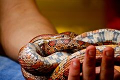 Handheld colourful curled up snake royalty free stock photo