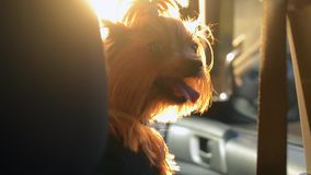 Handheld shot of a funny dog Yorkshire Terrier enjoying a drive on bright, sunny day. Family travels with a pet stock video