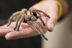 Handheld Tarantula Stock Photo