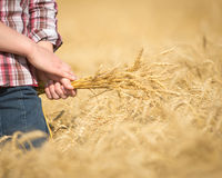 Handheld Wheat in Wheat Field. A girl holds ripe wheat in a wheat field Royalty Free Stock Image