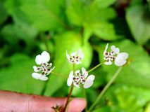 Handholding Pinda Concanensis, species van bloem in Kaas-Plateau wordt gevonden dat royalty-vrije stock foto's
