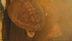 Handicaped-Schildkröte gespeichert nach Tsunamischwimmen im Pool in Sri Lanka stock video footage