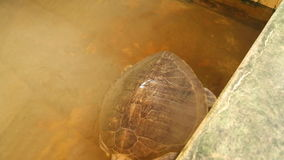 Handicaped turtle saved after tsunami swimming in pool in Sri Lanka stock footage