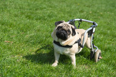 Handicapped dog Stock Images