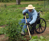 Handicapped farmer. In a wheelchair weeding a garden Stock Images