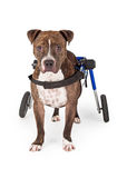 Handicapped Pit Bull Dog Standing In Wheelchair Stock Photography